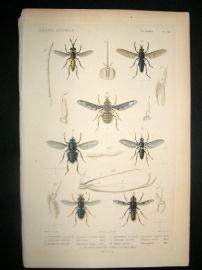 Cuvier C1840 Antique Hand Col Print. Insects 167